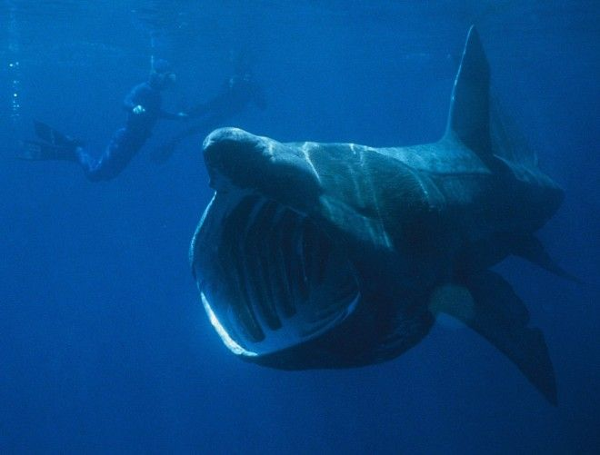 basking-shark-660x501-custom.jpg 660×501 pixels