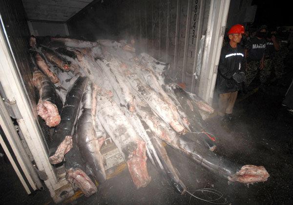 cocaine-hidden-in-sharks-17551-1245246474-44.jpg 600×420 pixels