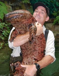 BB-Japanese-Giant-Salamander.jpg 425×544 pixels