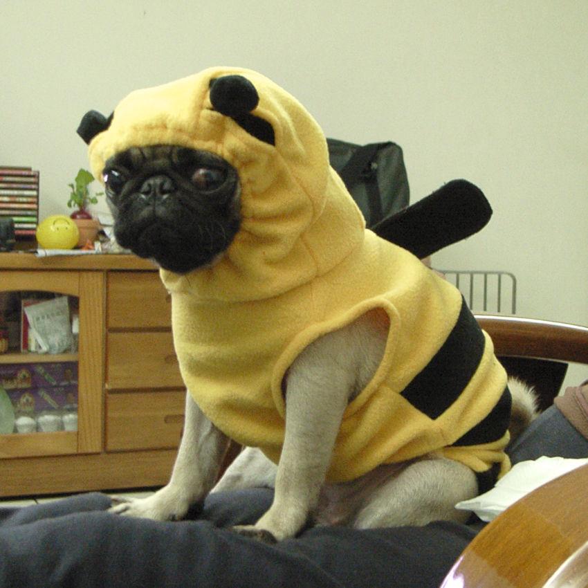 Flickr Photo Download: BEE pug