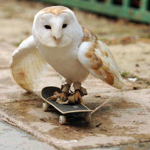 skateboarding-owl_1599818i.jpg 620×620 pixels
