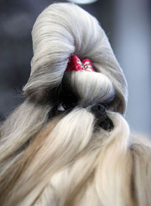 Flickr Photo Download: A Chinese Shih-tzu dog takes part in the European dog show in Budapest
