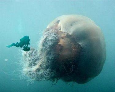 Giant jellyfish.jpg 400×319 pixels
