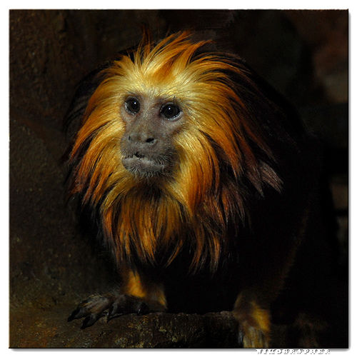Strobe on a rope - Golden-Headed Lion Tamarin @ US National Zoo. on Flickr - Photo Sharing!