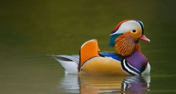 What a pretty duck! | Funny Cute Pics