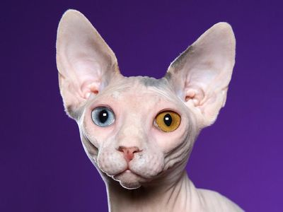 sphynx_cat_wallpaper.jpg 1,024×768 pixels