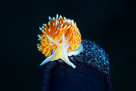 Hermissenda crassicornis  Flickr - Photo Sharing