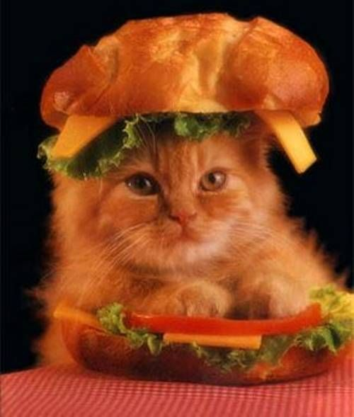 15-hilarious-cats-in-costumes-kitten-hamburger.jpg 500×589 pixels