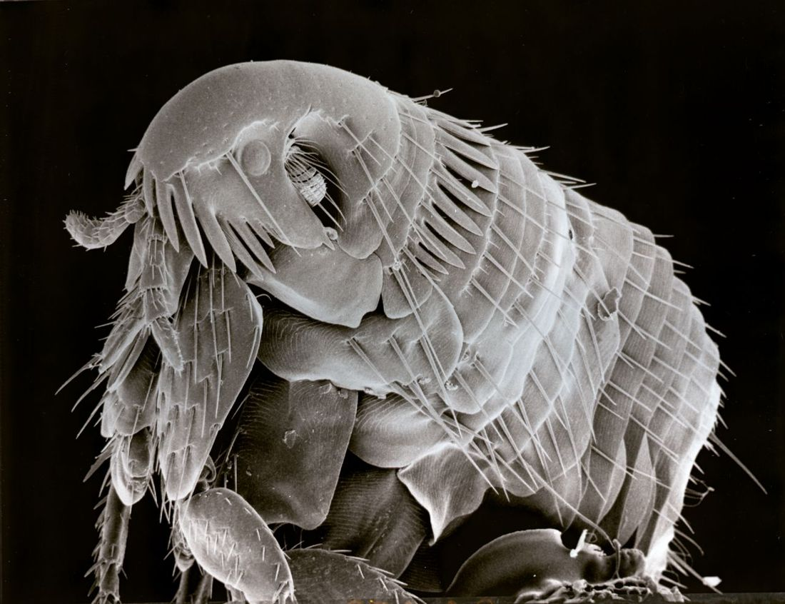 Flickr Photo Download: Electron microscope photo of a Flea.  86 times magnification