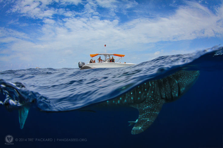 Whale Shark 2 - Very Nearly Almost