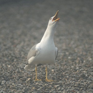 Gull-claim2-506-Micael-Reynaud.gif (506×506)