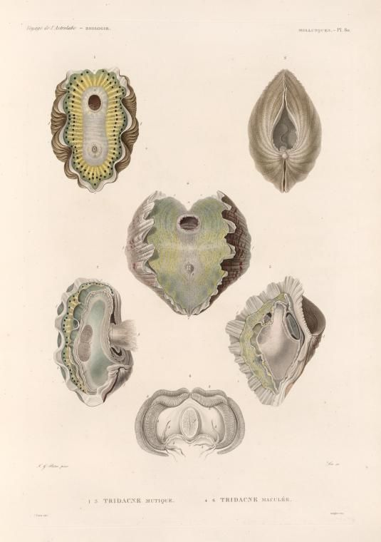 Mollusques: 1.- 3. Tridacne  mutique; 4.- 6. Tridacne maculée. - NYPL Digital Collections