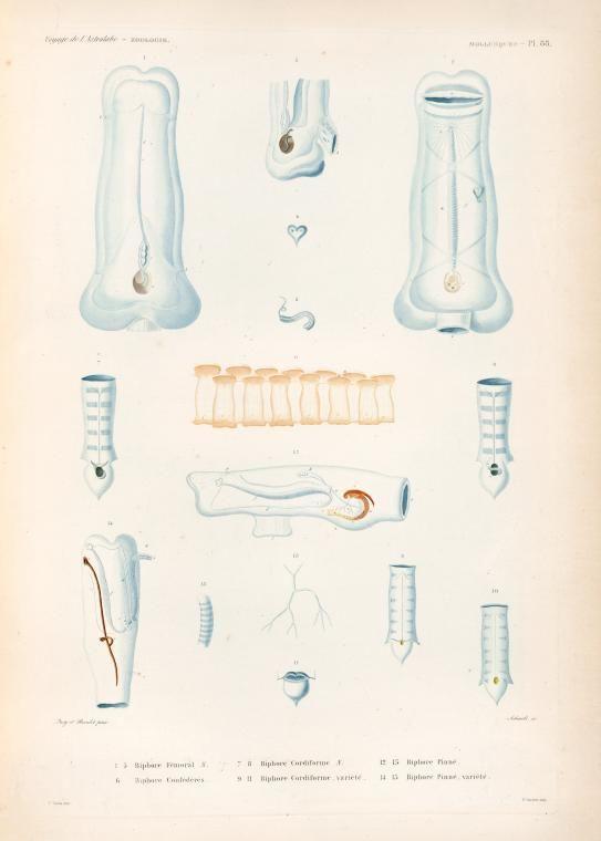 Mollusques: 1.- 5. Biphore, Fémoral. N.; 6. Biphore, Confédérés; 7. 8. Biphore, Cordiforme. N.; 9.- 11. Biphore, Cordifome, variété; 12. 13. Biphore, Pinné; 14. 15. Biphore,  Pinné. variété. - NYPL Digital Collections