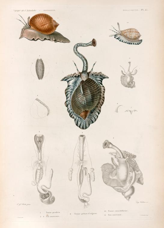 Mollusques: 1. Tonne perdrix; 2.- 8. Son anatomie; 9. Tonne pelure d' oigno; 10. Tonne cassidiforme; 11. Son anatomie. - NYPL Digital Collections