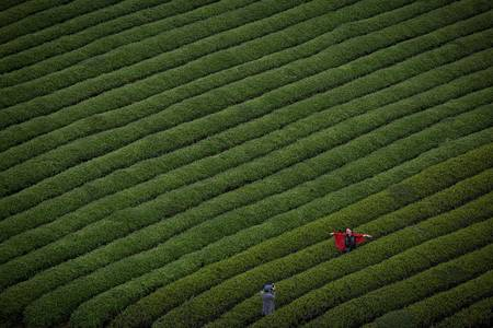 Homeland of tea - The Boston Globe