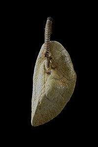 Lung of Pterotrachea Coronata  - Sea Elephant on Flickr - Photo Sharing!