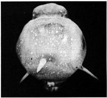 TumblerSnapperropetricks-Ropetrickeffect-Wikipedia