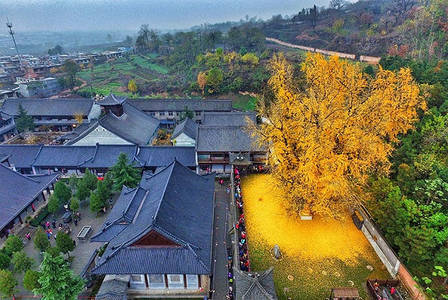 1,400-Year-Old Gingko Tree Sheds a Spectacular Ocean of Golden Leaves